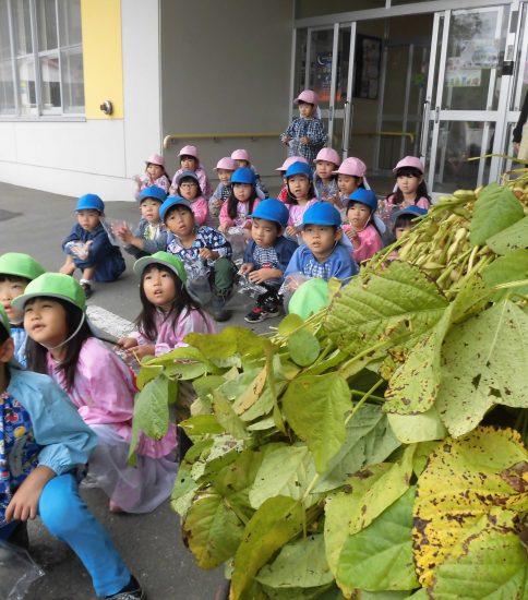 枝豆収穫~年長~