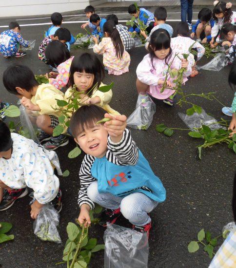 枝豆収穫したよ☆(年長)